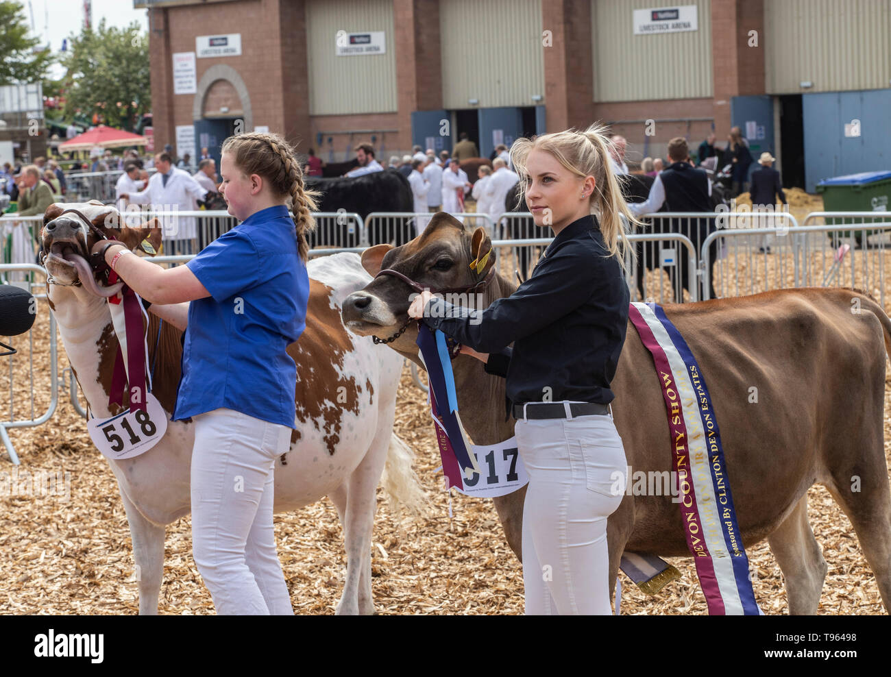 Young farmers with  a young  L) Ayreshire and R) Guernsey at the Devon County Show, near Exeter,, UK Stock Photo