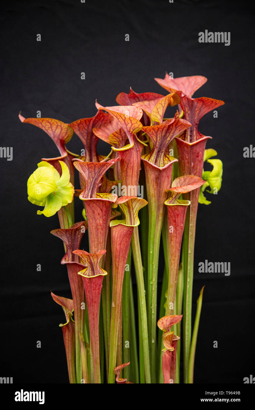 Sarracenia atropurpurea, pitcher plant, carniverous insect eating flower, Stock Photo