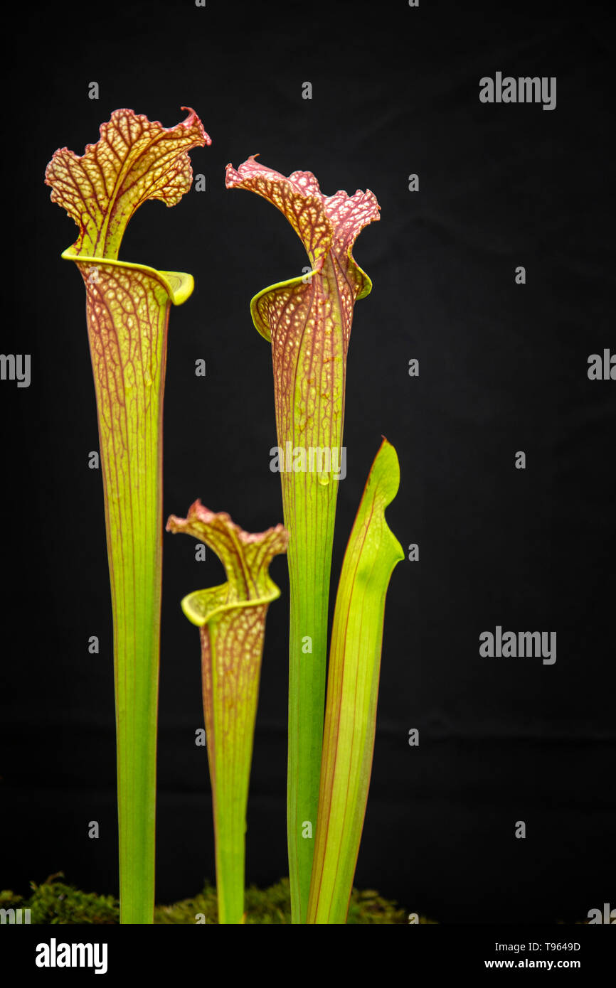 Sarracenia flava flava, Dinwiddie. pitcher plant, carniverous insect eating flower, Stock Photo