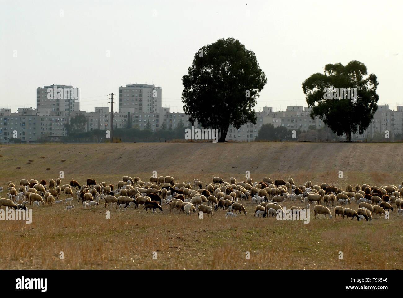 Rome, Tor Bella Monica. Italy: Flocks of sheeps. - Stock Image
