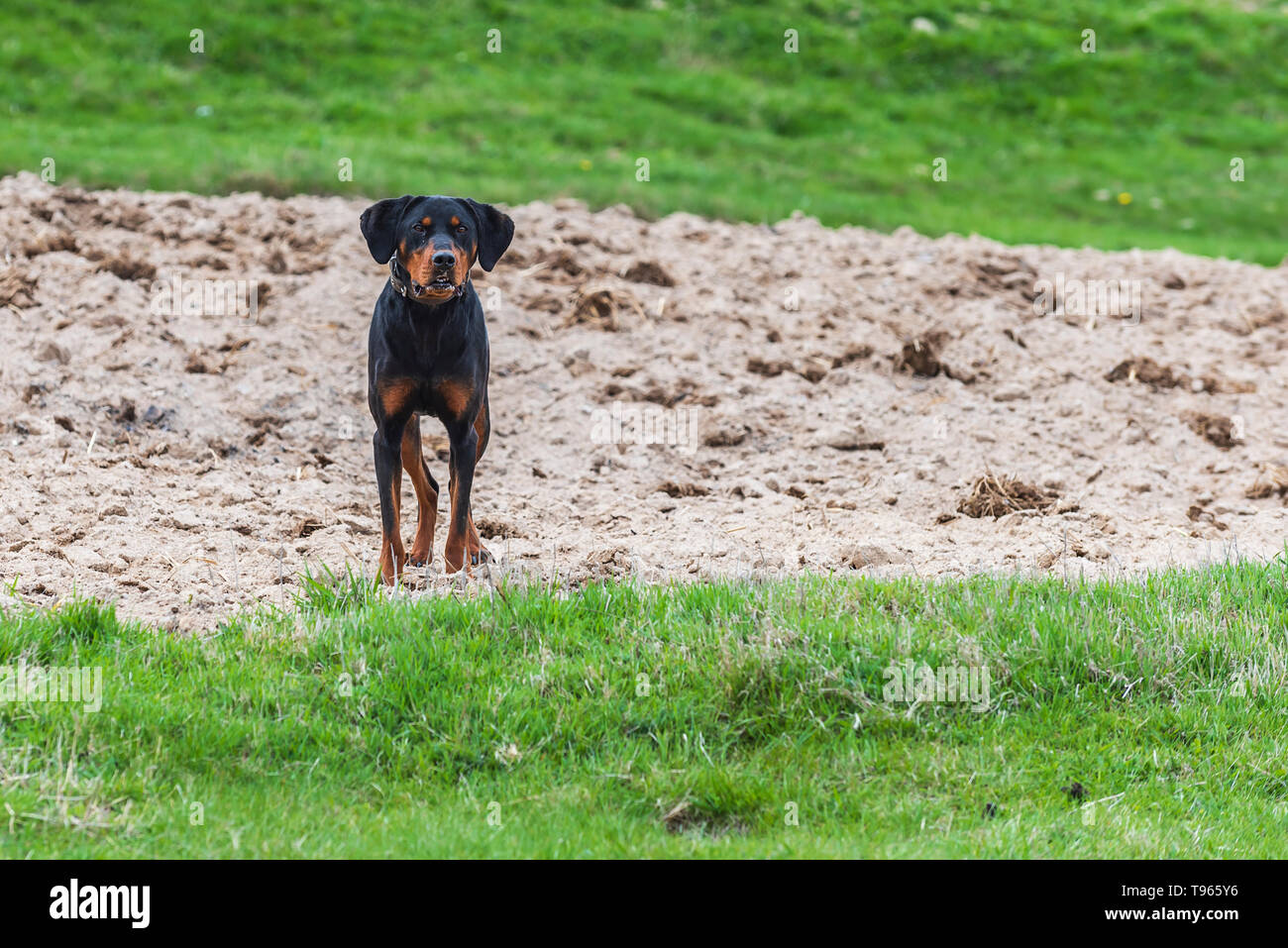 Black dog on green field - Stock Image
