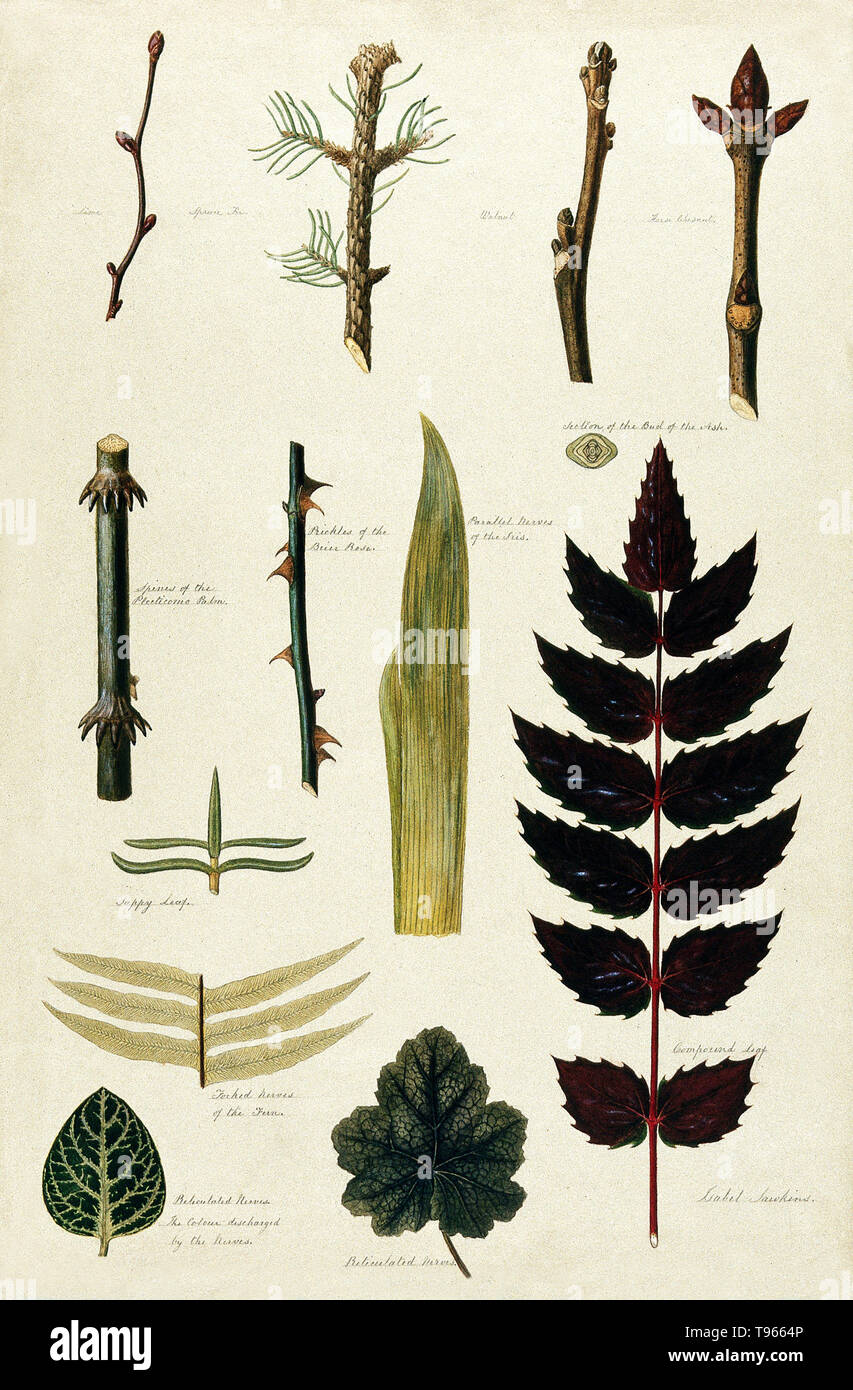 Various leaf forms, leaf venation, bud arrangements and woody stems. Watercolor by Isabel Sawkins. The illustration includes: lime, spruce fir, walnut, horse chestnut, section of the bud of the ash, spines of the plecticomo palm, prickles of the brier rose, parallel nerves of the iris, sappy leaf, forked nerves of the fern, reticulated nerves, the color discharged by the nerves, reticulated nerves, and compound leaf. - Stock Image
