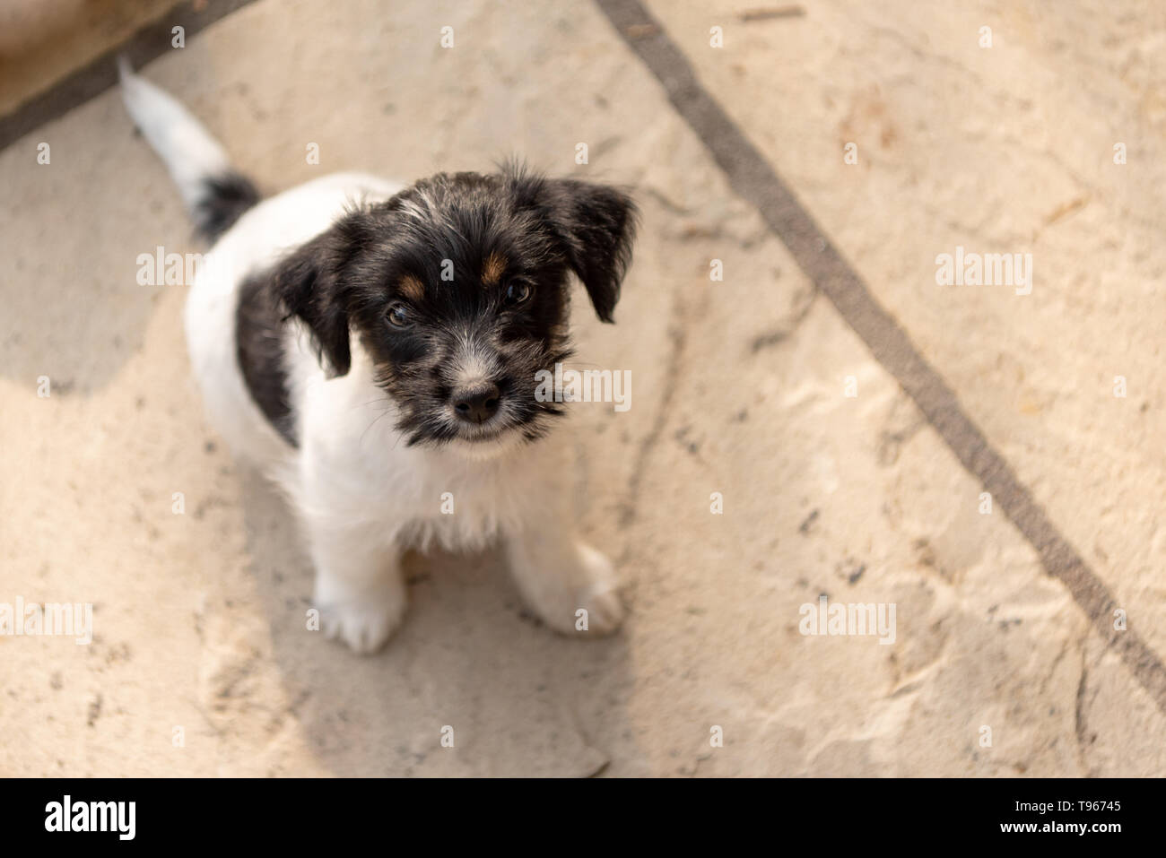 Young Jack Russell Terrier puppy 7,5 weeks old.  Cute small little doggy.  Dog is looking up. Funny perspective - Stock Image