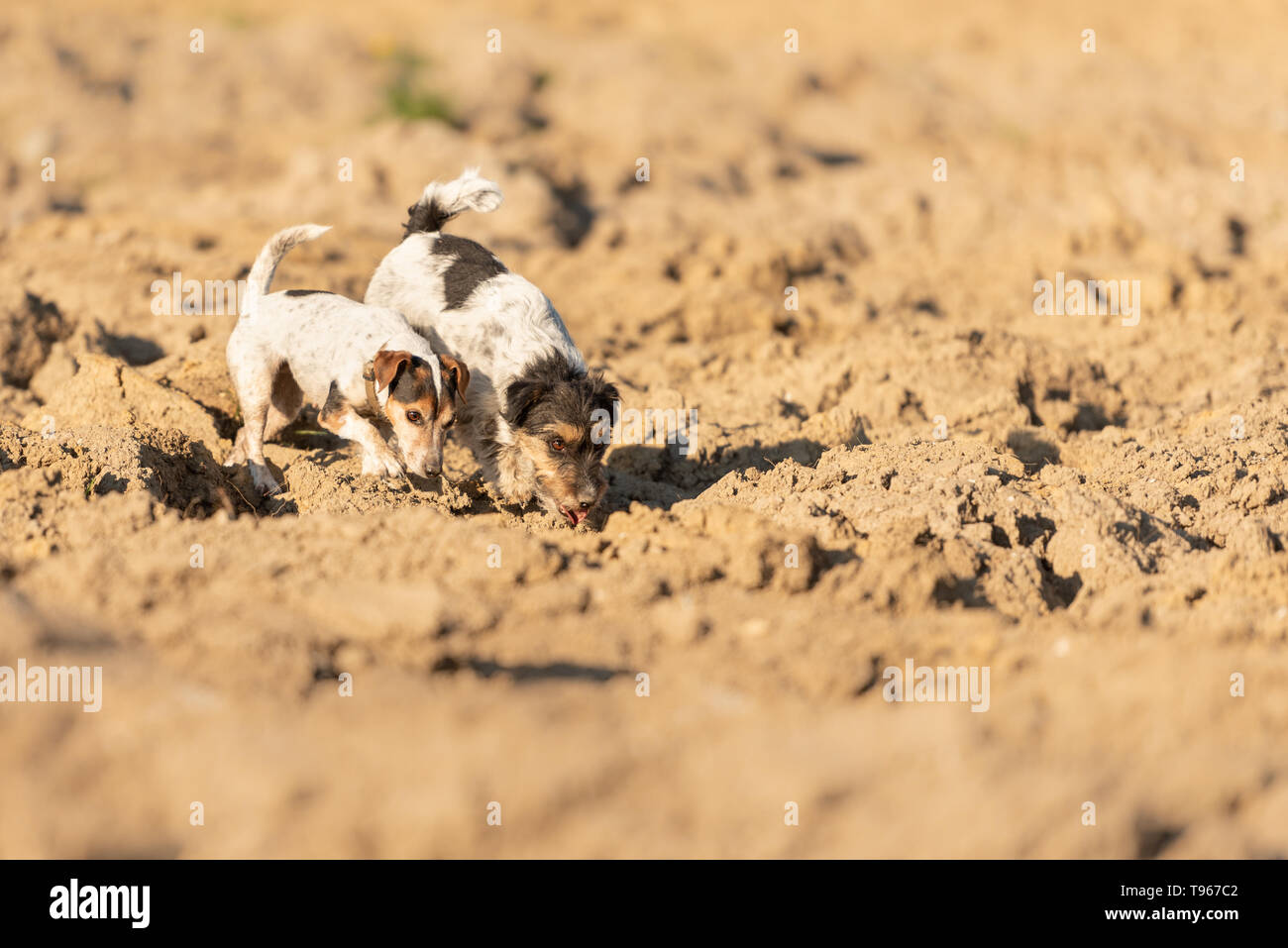 Cute 2 Jack Rusell Terrier dog are following a trail on a  field. Dogs are 4 and 12 years old. - Stock Image
