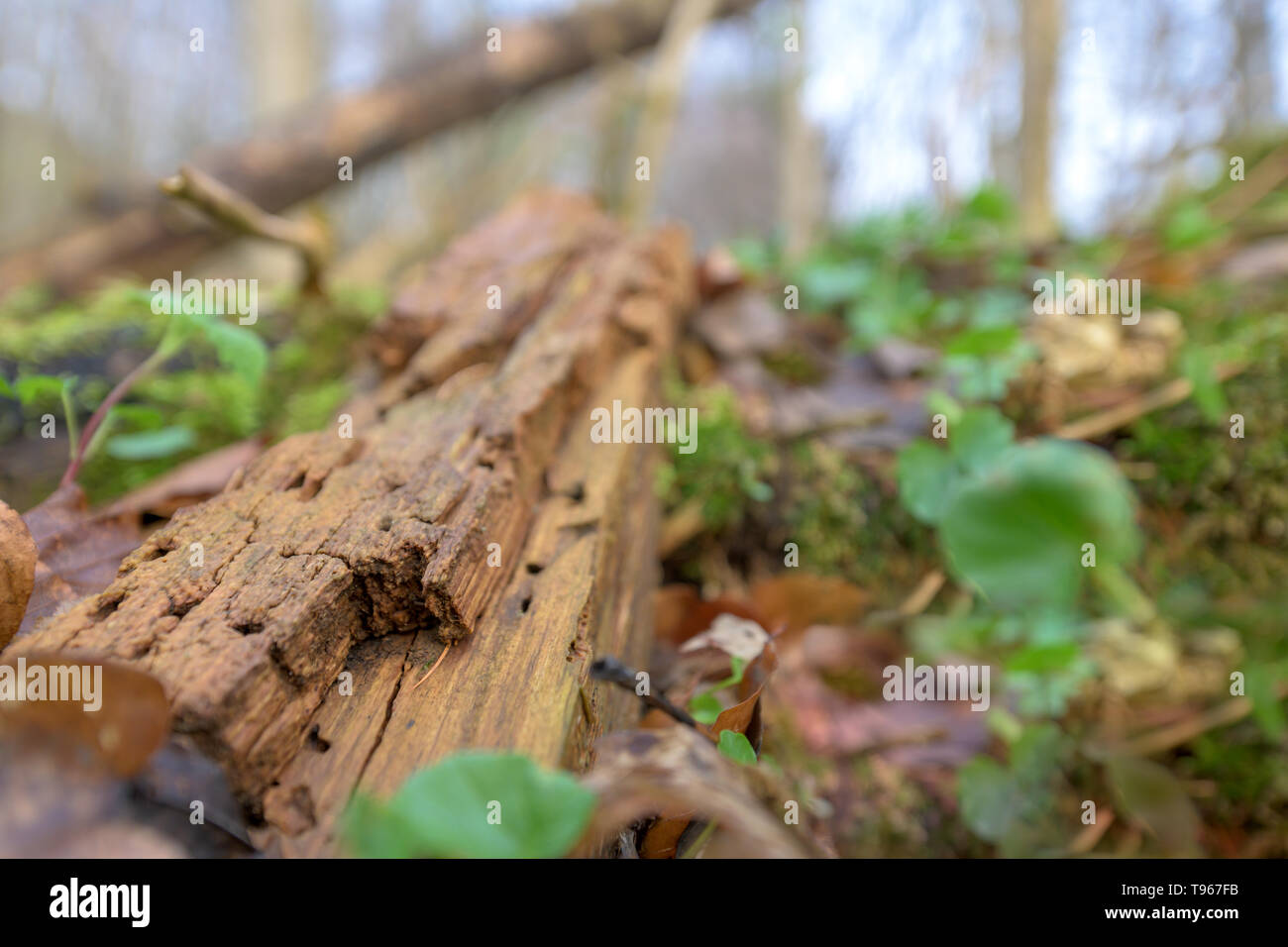 Natural habitat for insects in the forest. Rotten wood as protection to preserve biodiversity - Stock Image
