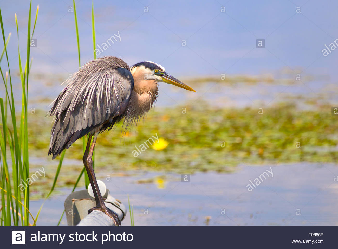 Great Blue Heron drying off in the sunlight in Florida Stock Photo