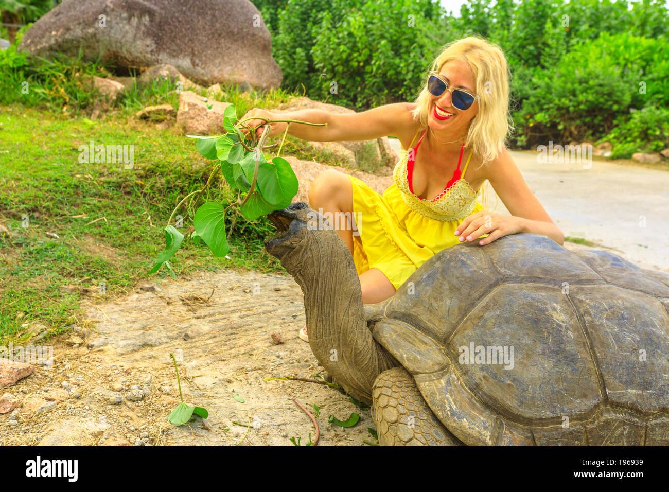 Elegant caucasian happy tourist woman feeding a male of Aldabra Giant Tortoise, Aldabrachelys gigantea, a tortoise native to Aldabra atoll. Popular - Stock Image