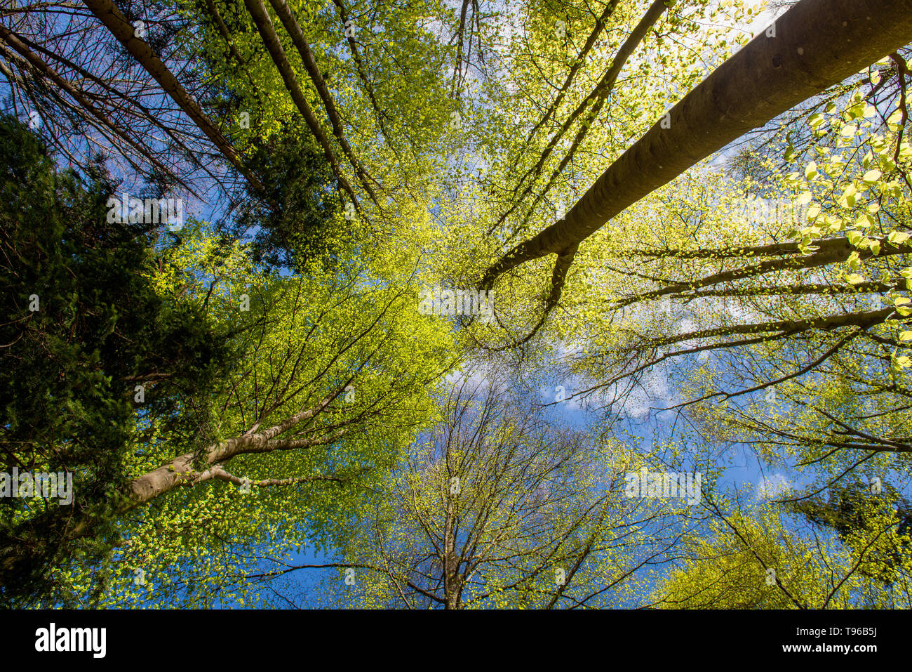 tree trunks in the woods vines from below - Stock Image