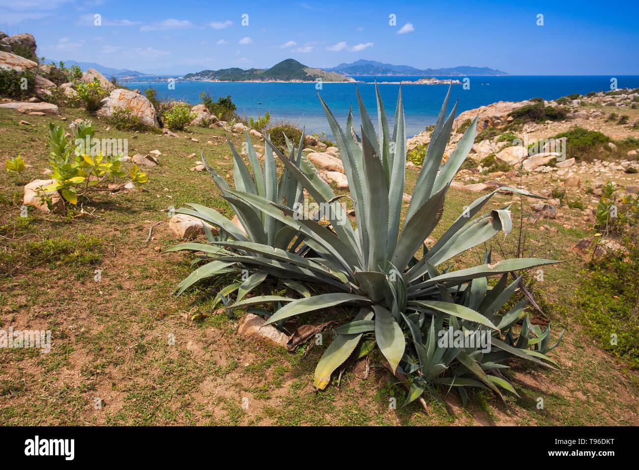 Cactus in Rocky coast landscape at Vinh Hy, South China Sea,Ninh Thuan, Vietnam - Stock Image