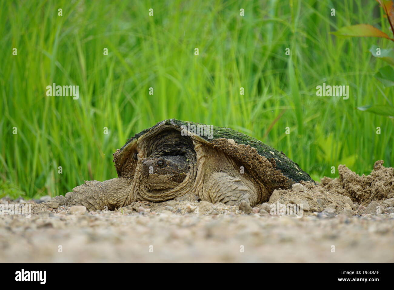 Snapping Turtle (Chelydra Serpentina) laying eggs in a gravel road by a swamp, St. Joseph Québec, Canada Stock Photo