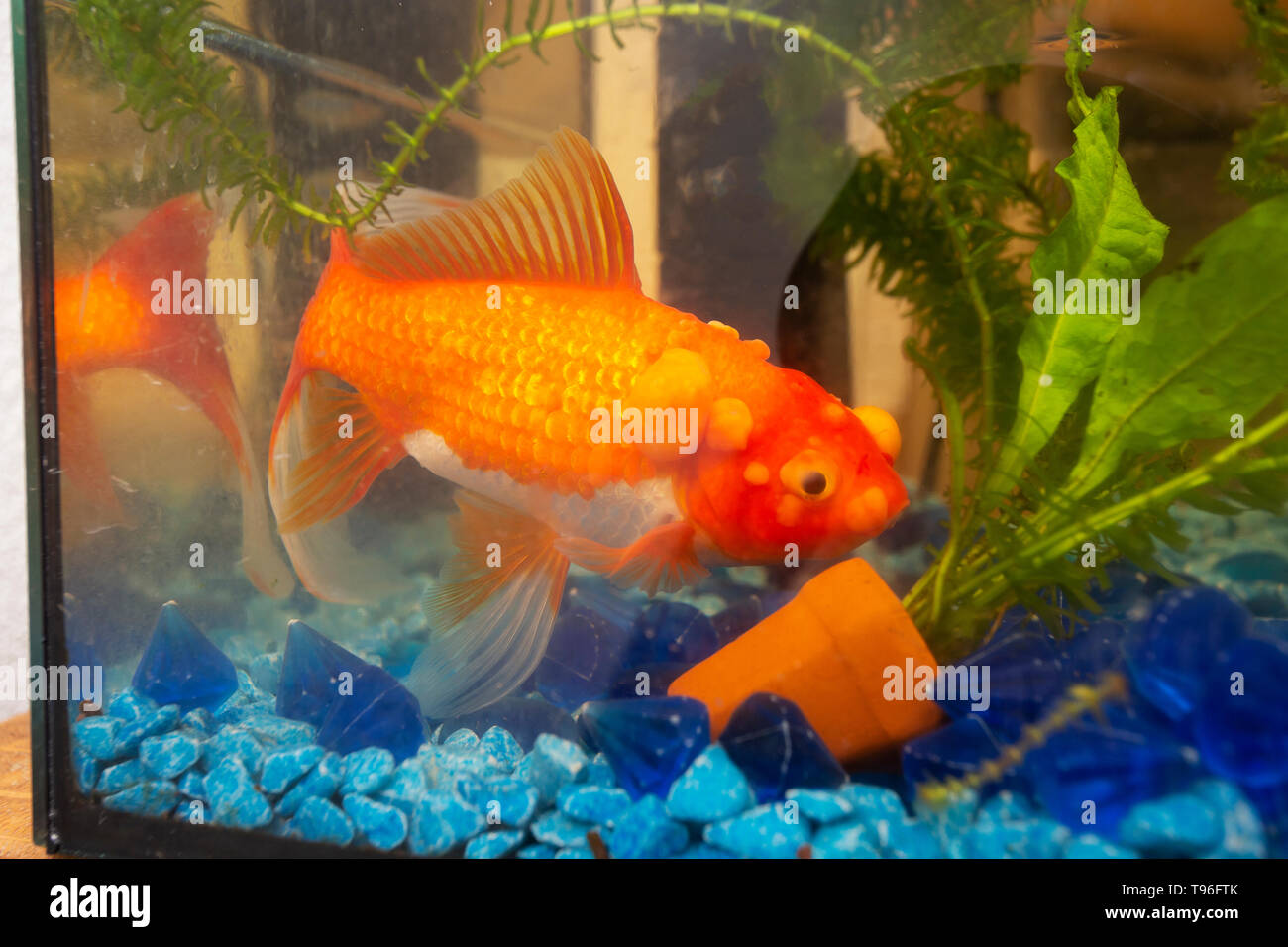 Sick goldfish with bumbs on its scale, fish bowl - Stock Image
