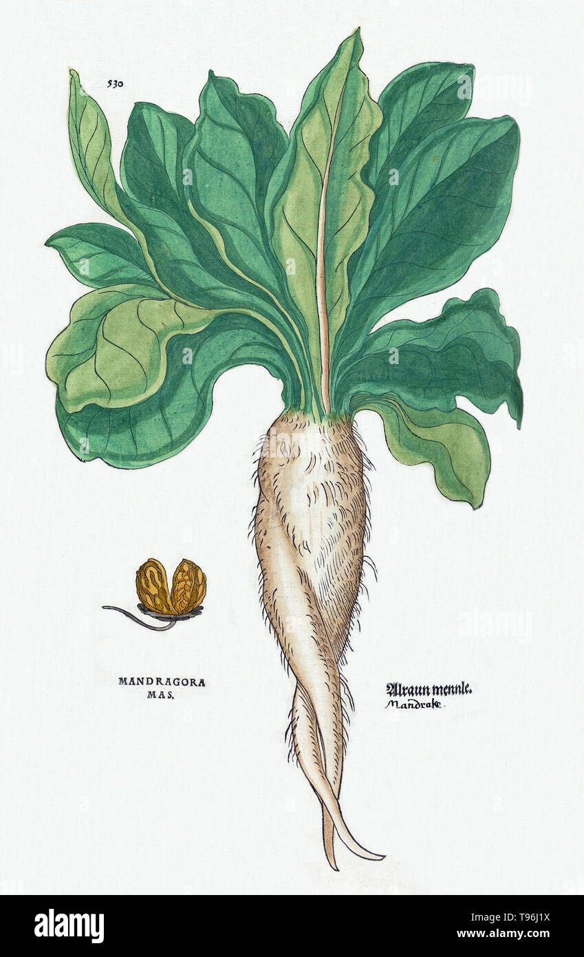 Mandrake Plant Stock Photos Mandrake Plant Stock Images Alamy