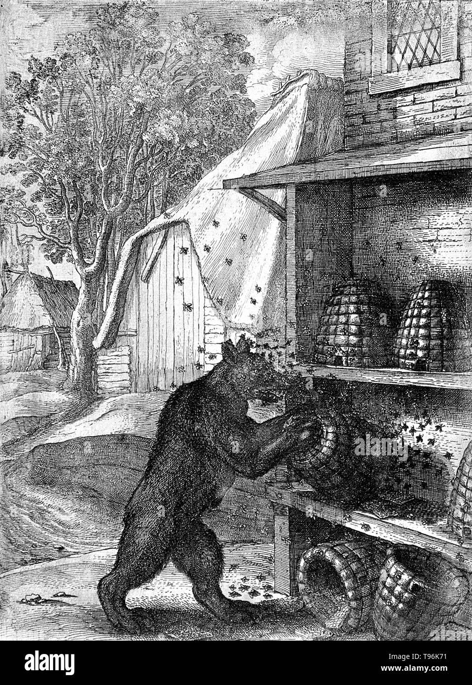 A bear has overturned two hives and is trying to prize out honey from a third while being attacked by bees. Illustration of a fable by Aesop. A beehive is an enclosed structure man-made in which some honey bee species of the subgenus Apis live and raise their young. Several species of Apis live in colonies, but for honey production the western honey bee (Apis mellifera) and the eastern honey bee (Apis cerana) are the main species kept in hives. - Stock Image