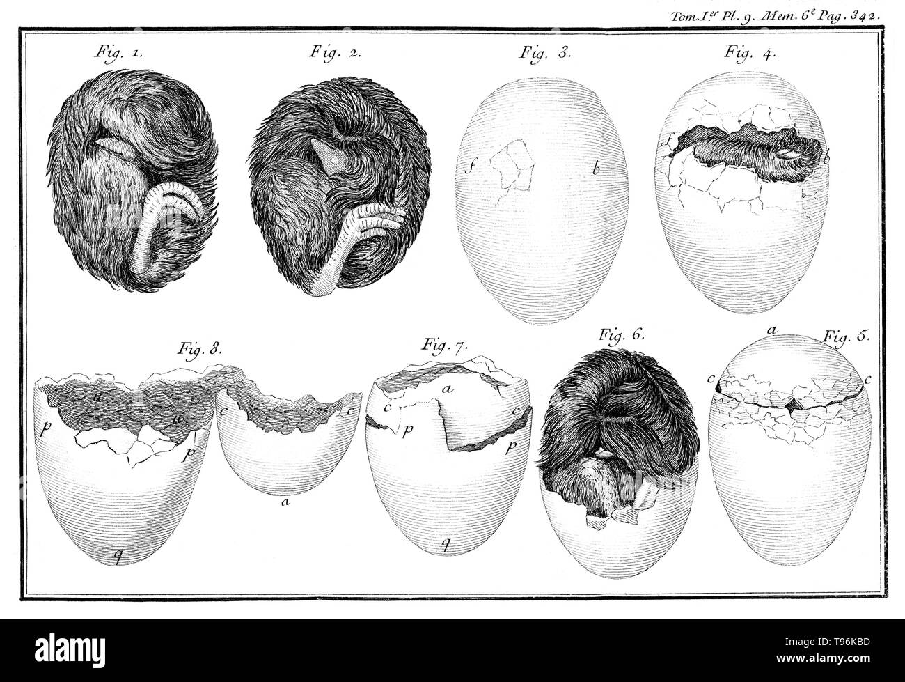 Poultry egg hatching process. Plate 9, page 342. René Antoine Ferchault de Réaumur (February 28, 1683 - October 17, 1757) was a French scientist who contributed to many different fields, especially the study of insects. In 1699 he studied civil law and mathematics. In 1703 he went to Paris, where he continued the study of mathematics and physics, and in 1708 was elected, at the age of 24, a member of the Académie des Sciences. In 1731 he became interested in meteorology, and invented the thermometer scale which bears his name: the Réaumur. His scientific papers deal with many branches of scien - Stock Image