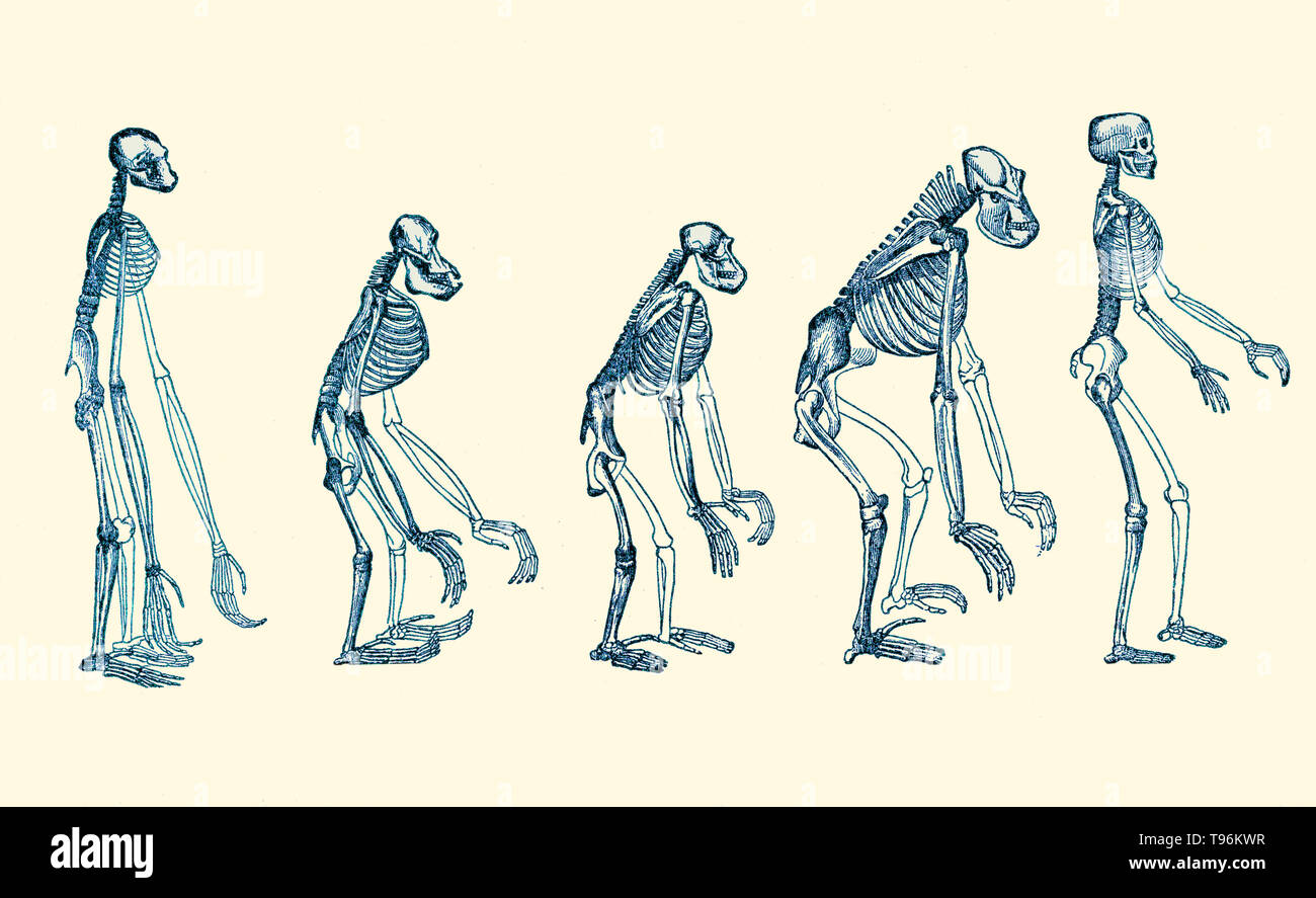 The Evolution of Man, 1879. A popular exposition of the principal points of human ontogeny and phylogeny by Ernst Haeckel. The naturalist Ernst Haeckel (1834- 1919) was a German biologist, naturalist, philosopher, physician, professor and artist who discovered, described and named thousands of new species, mapped a genealogical tree relating all life forms, and coined many terms in biology, including anthropogeny, ecology, phylum, phylogeny, and the kingdom Protista. Stock Photo