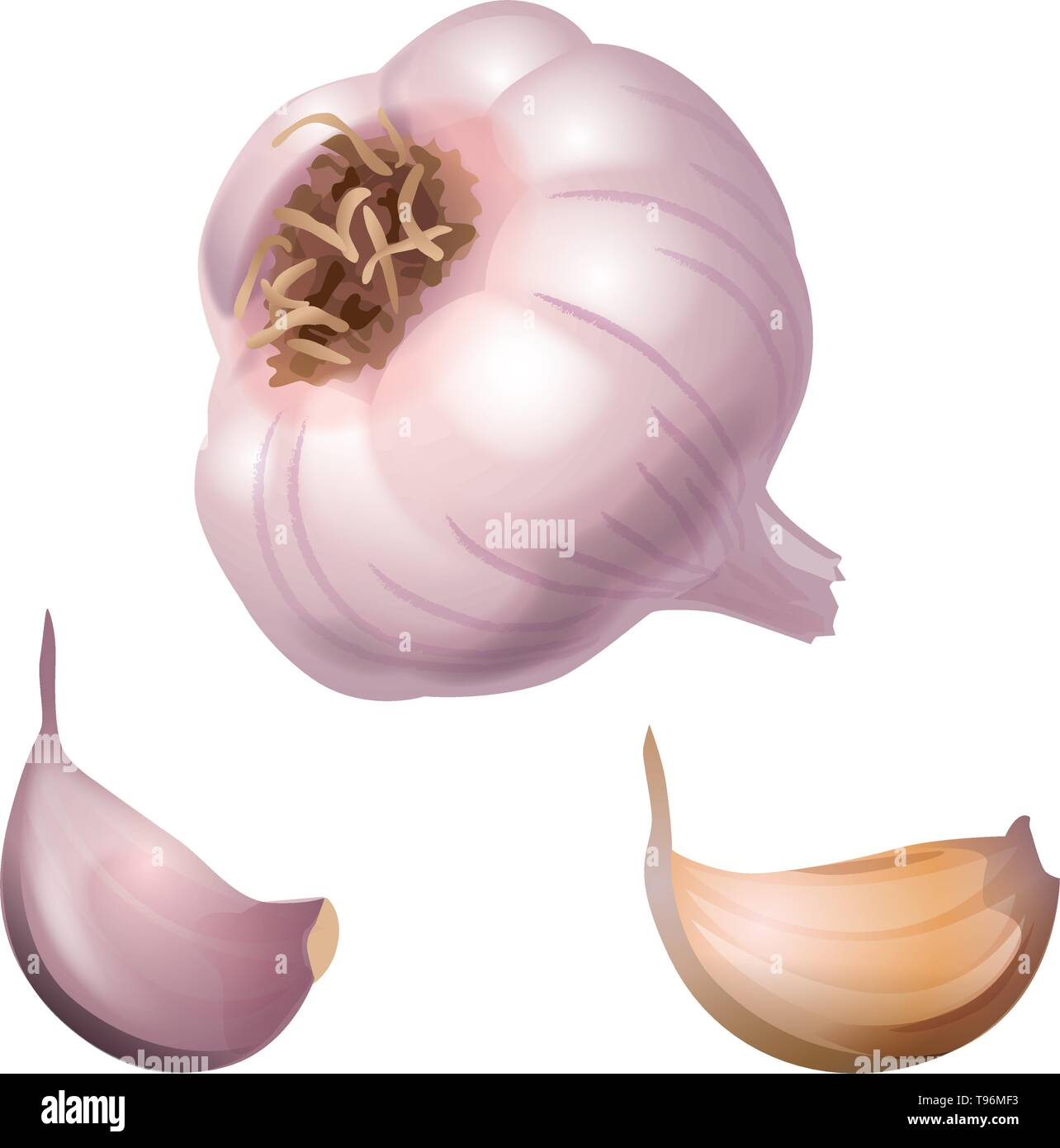 whole head of the garlic and two cloves of the garlic - Stock Vector