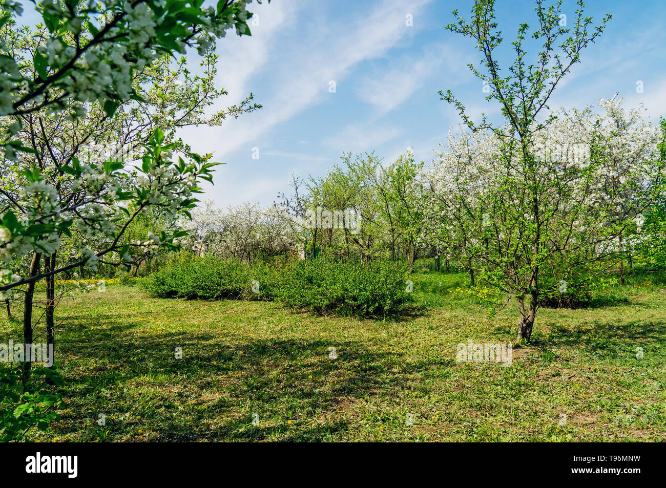 Ornamental garden with majestically blossoming large cherry trees and Apple trees on a fresh green lawn. - Stock Image