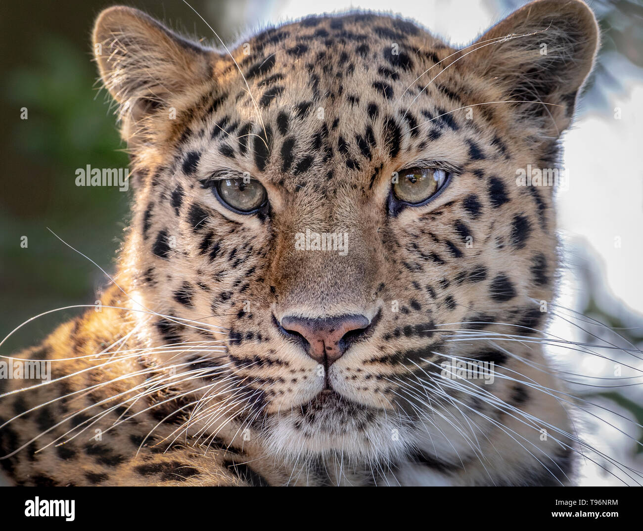 Female Amur leopard looking towards camera - Stock Image