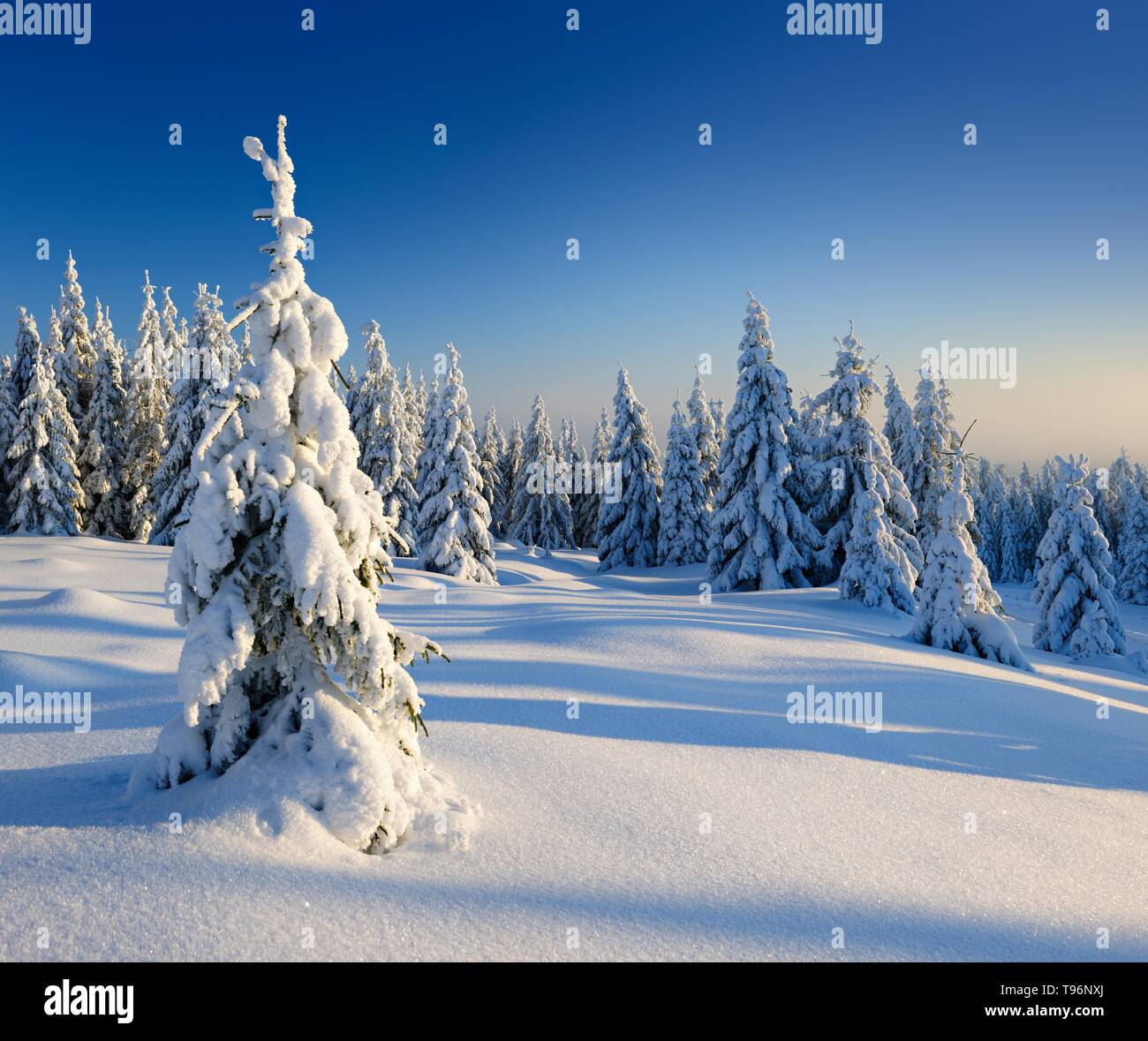 Snow-covered winter landscape, snow-covered spruces, Harz National Park, Saxony-Anhalt, Germany - Stock Image