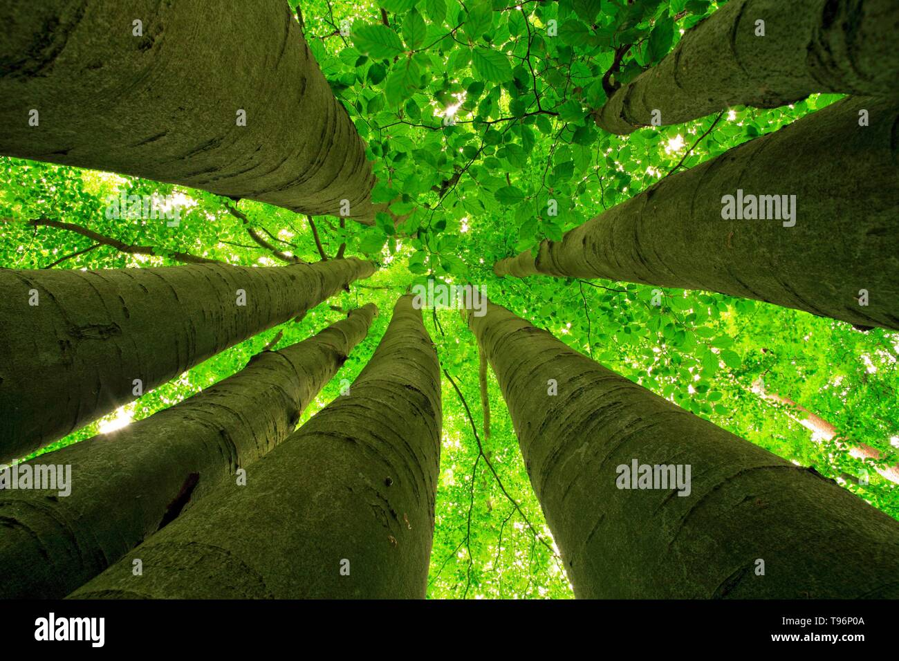 Narrow standing big Beeches (fagus), view from below into the treetops in spring, fresh green, Colbitz-Letzlinger Heide, Saxony-Anhalt, Germany - Stock Image