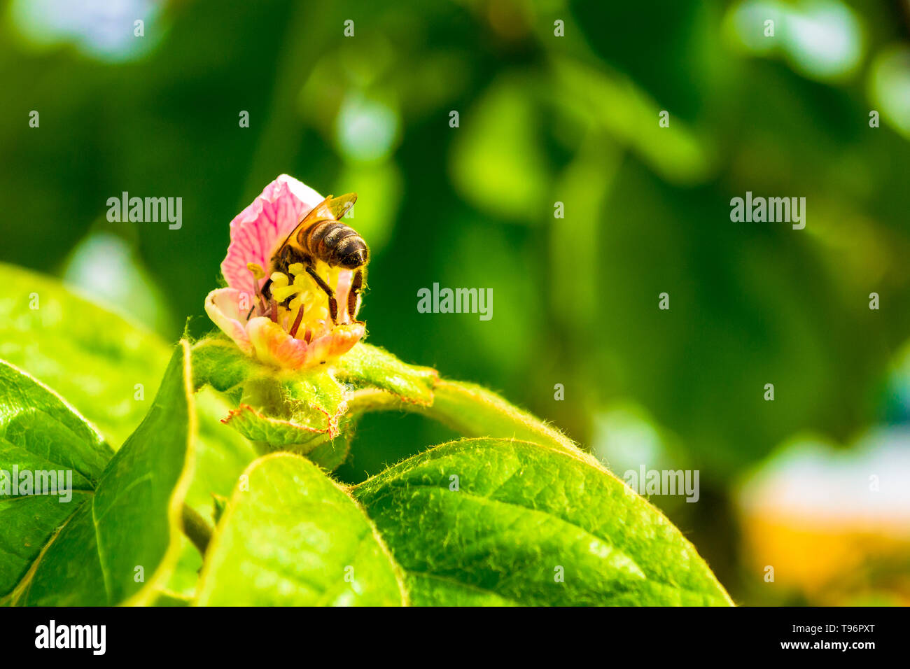 Western honey bee (Apis mellifera) inside a pink quince flower, with its rear sting upwards, defensively, collecting nectar and pollen to produce mult - Stock Image