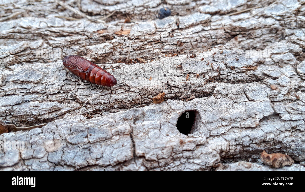 Pupa of a butterfly on the trunk of a tree found during a walk in the nature. - Stock Image