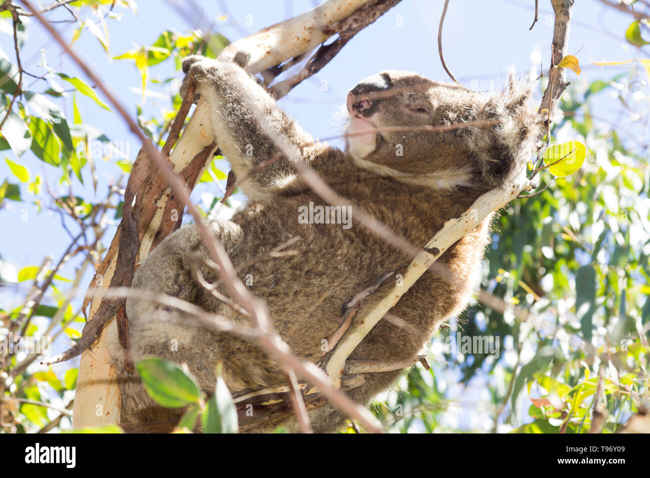 Koala eating eucalyptus in tree Melbourne Australia - Stock Image