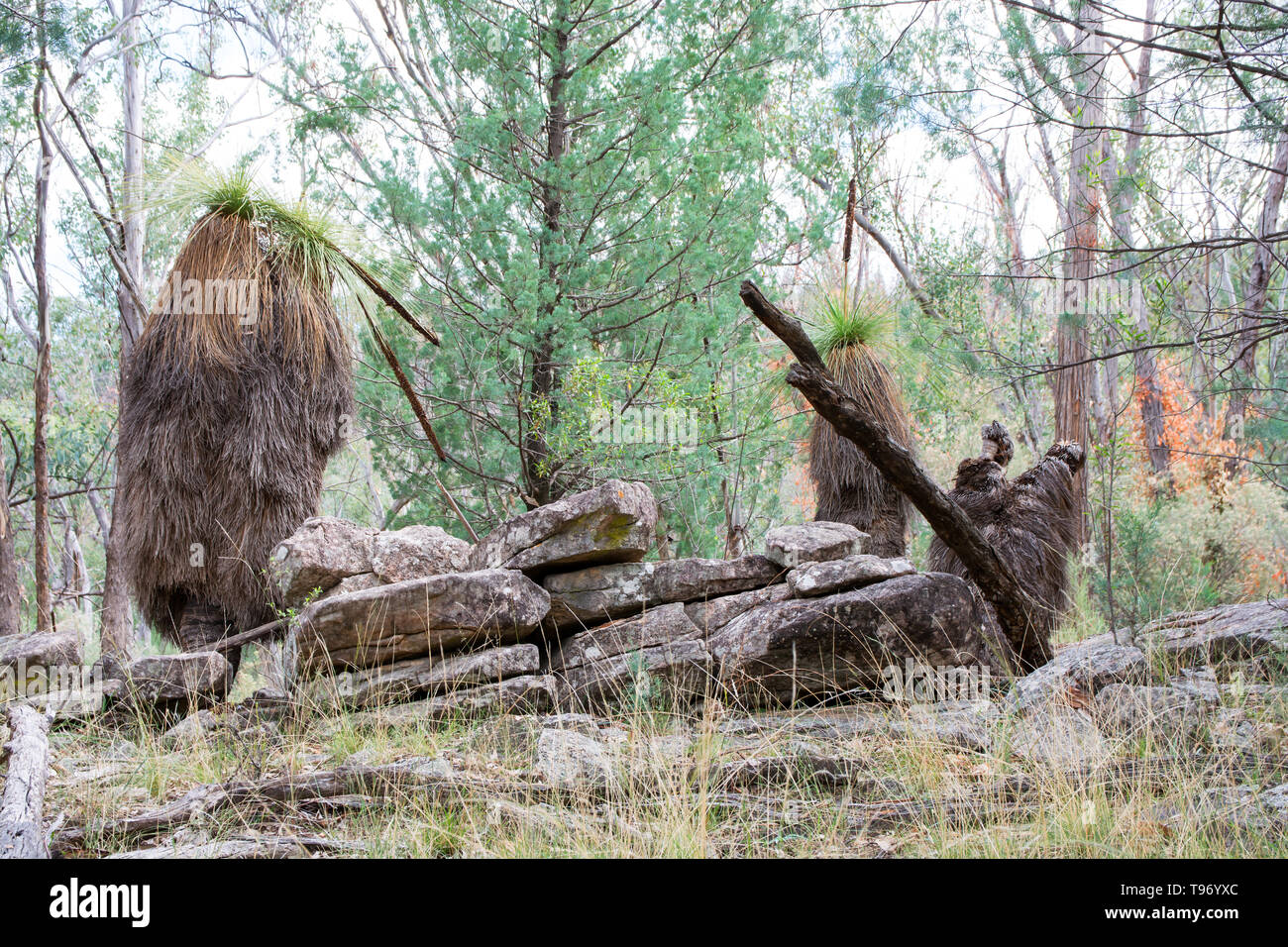Australian Temperate Forest scene with ancient Grass Trees growing among cracked rocks. Northern NSW Australia. - Stock Image
