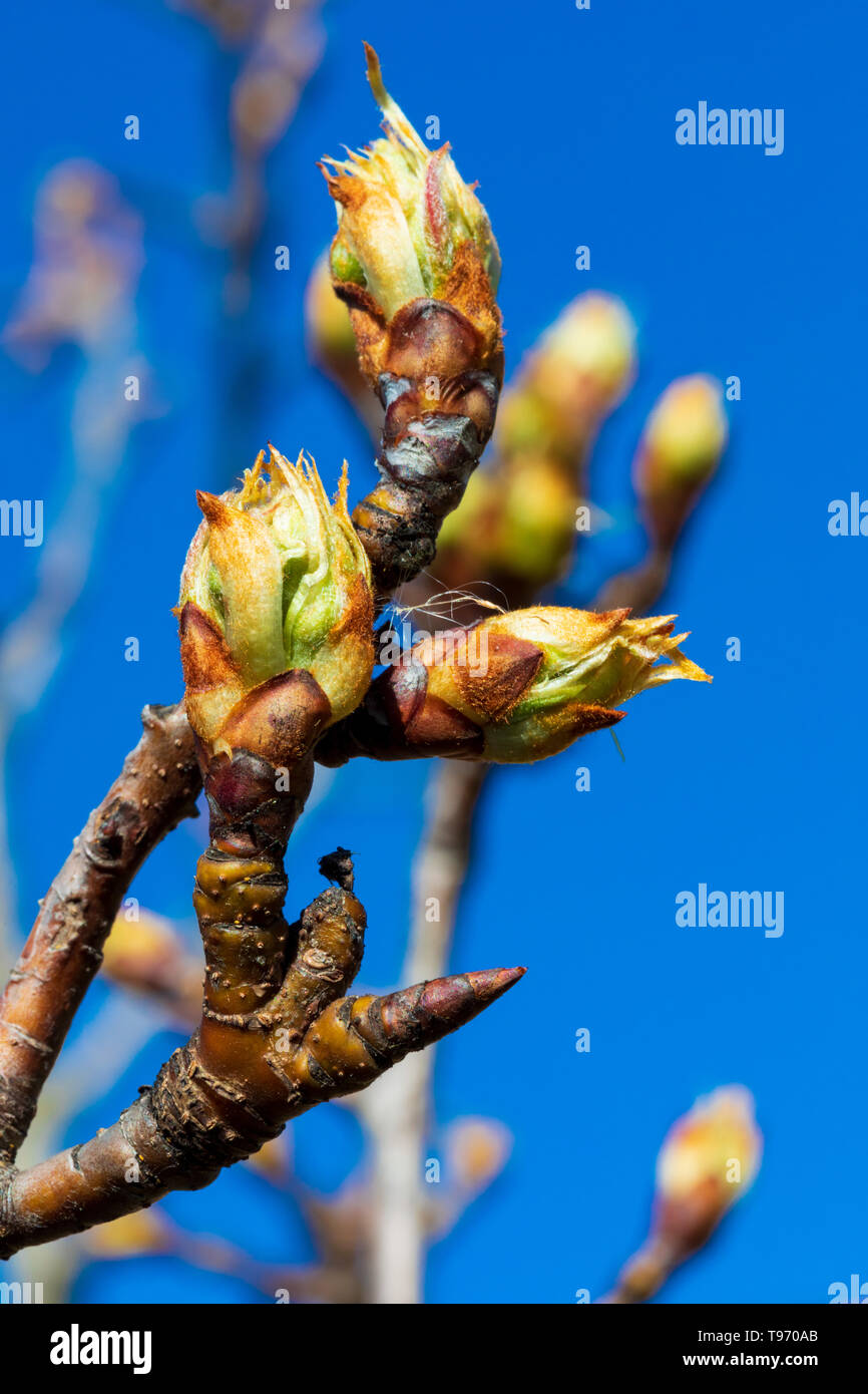 Close-up of apple buds and buds growing on apple tree (Reineta variety fruit tree). Sunny spring day. - Stock Image