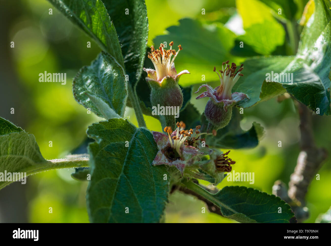 Close-up of small apples growing on apple tree (Reineta variety fruit tree). Sunny spring day. - Stock Image