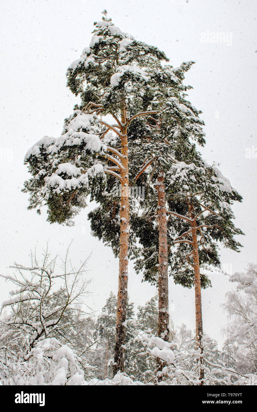 Three tall pine in snowfall on the background of snowy forests and white sky - Stock Image