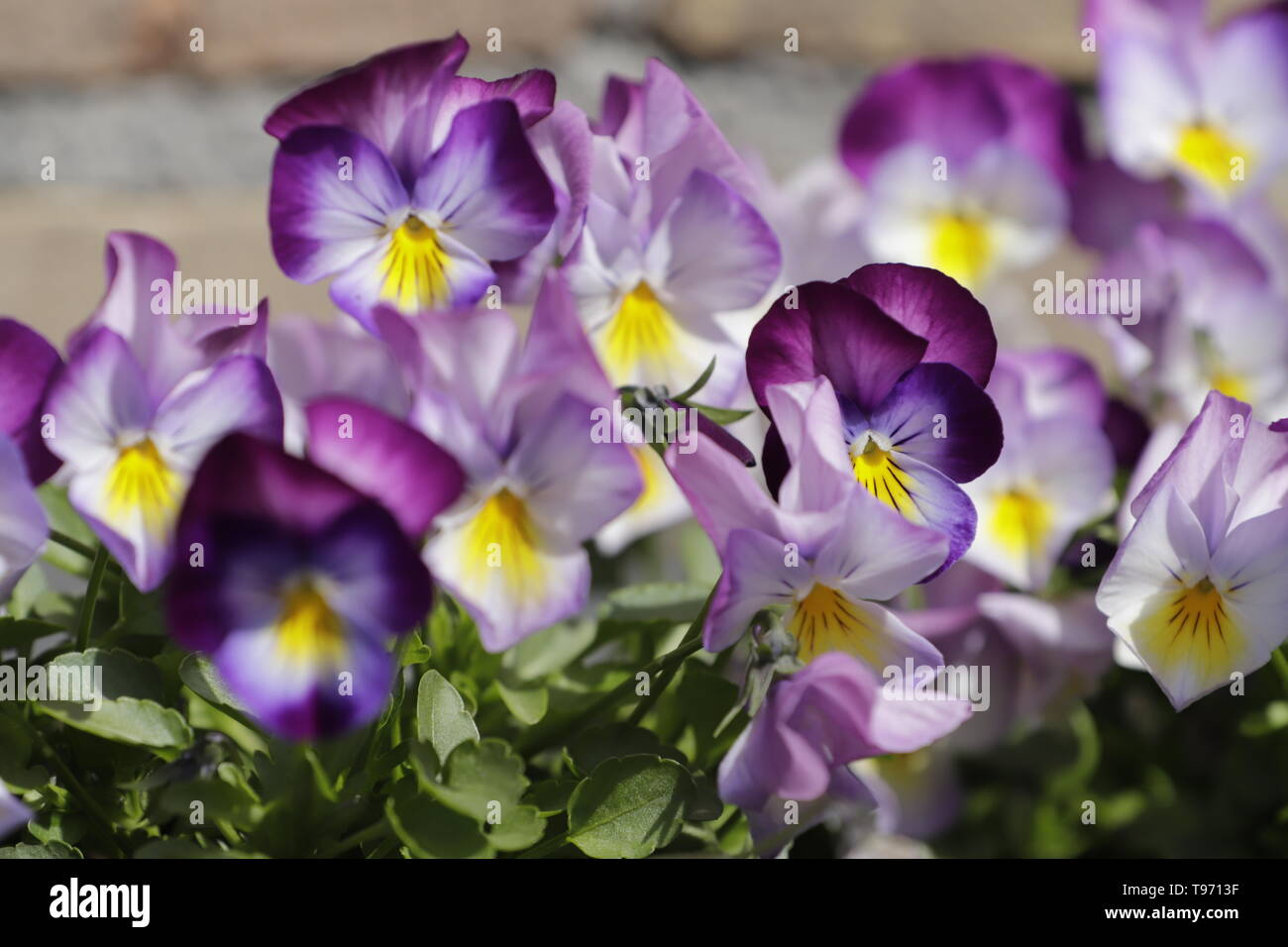 close up of pansy or viola tricolor flowers - Stock Image