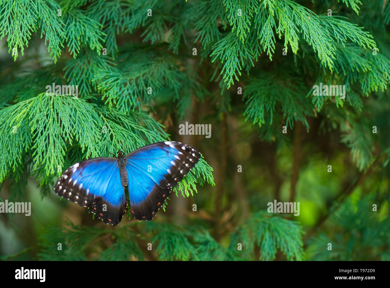 Peleides Blue Morpho butterfly (Morpho peleides) resting on cypress branch. Selective focus and shallow depth of field. - Stock Image