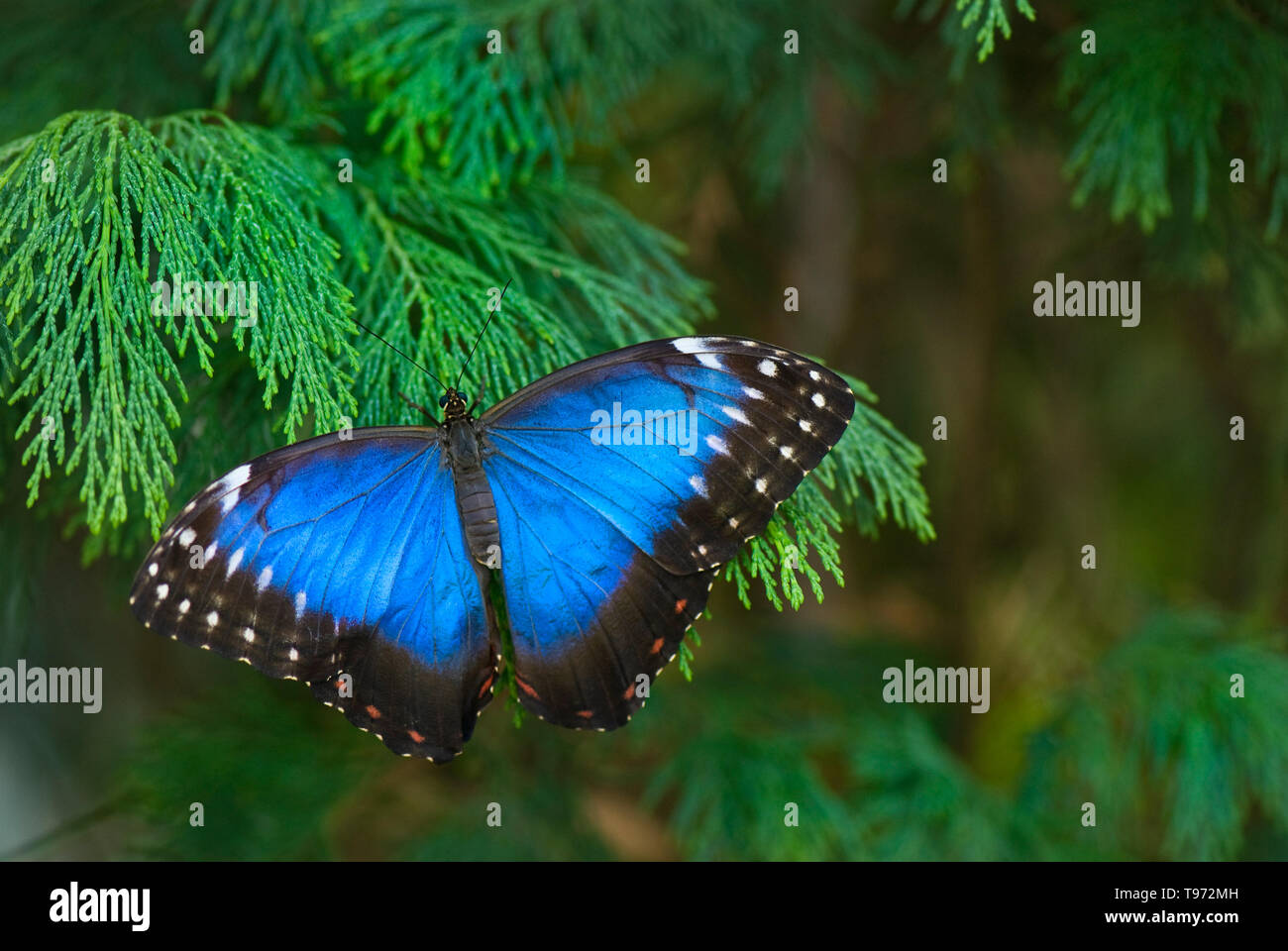 Metallic blue morpho butterfly resting on cypress - Stock Image