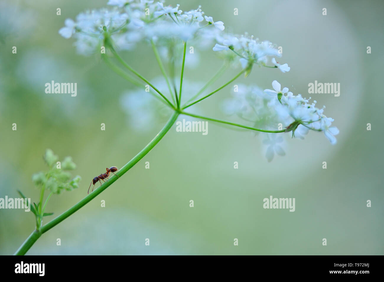Ant crawling across cow parsley - Stock Image