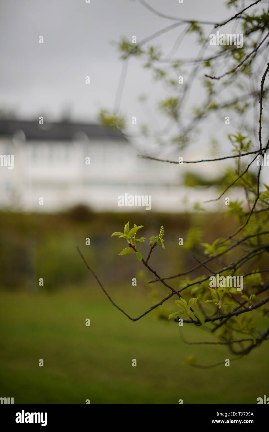Branches With Fresh Green Spring Leaves And A White Painted House In The Background Stock Photo Alamy