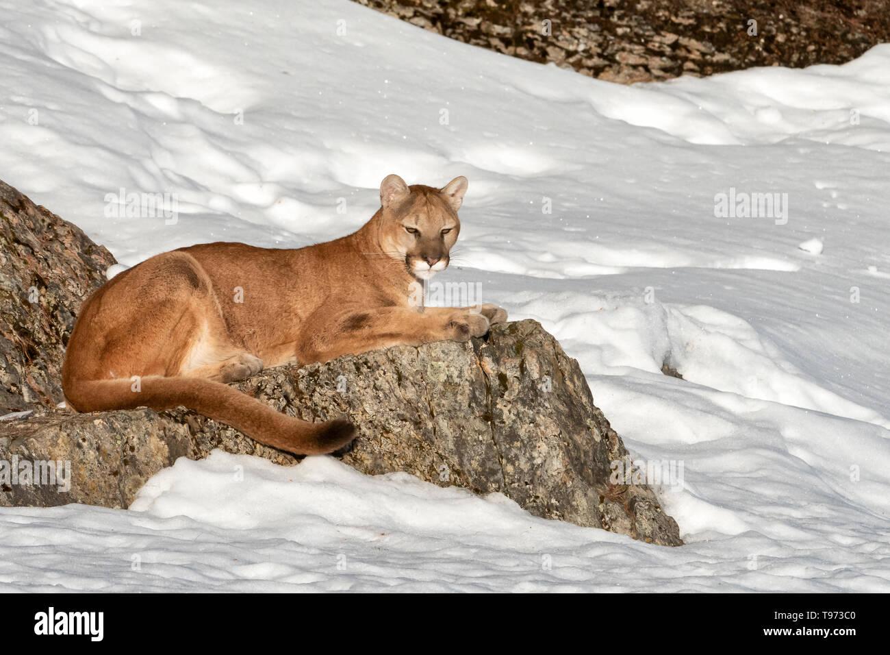North America; United States; Montana;  Wildlife; Mammals; Predators; Felines; Mountain Lion; Felis concolor - Stock Image