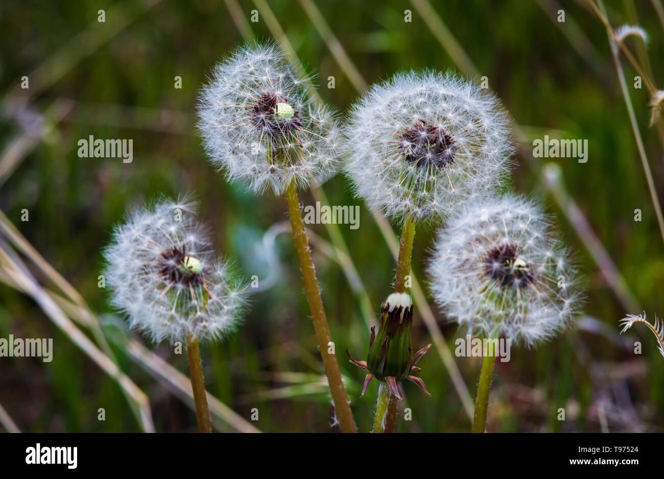 Dandelion seed heads (Taraxacum Officinale) in spring, Castle Rock Colorado US. Photo taken in May. - Stock Image