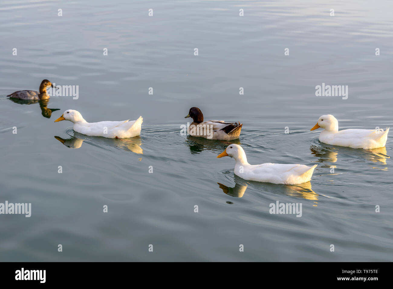 White Ducks - A group of white American Pekin ducks swimming on a lake in an evening of January. Veterans Oasis Lake, Chandler, Arizona, USA. - Stock Image