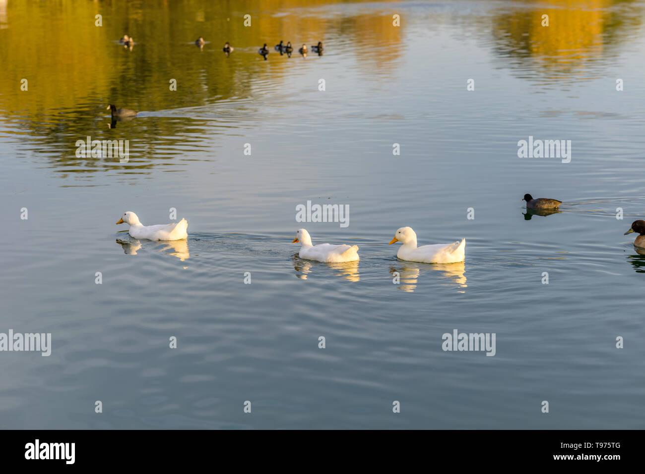 White Ducks On Sunset Lake - A group of white American Pekin ducks swimming on a sunset autumn lake. Veterans Oasis Lake, Chandler, Arizona, USA. - Stock Image