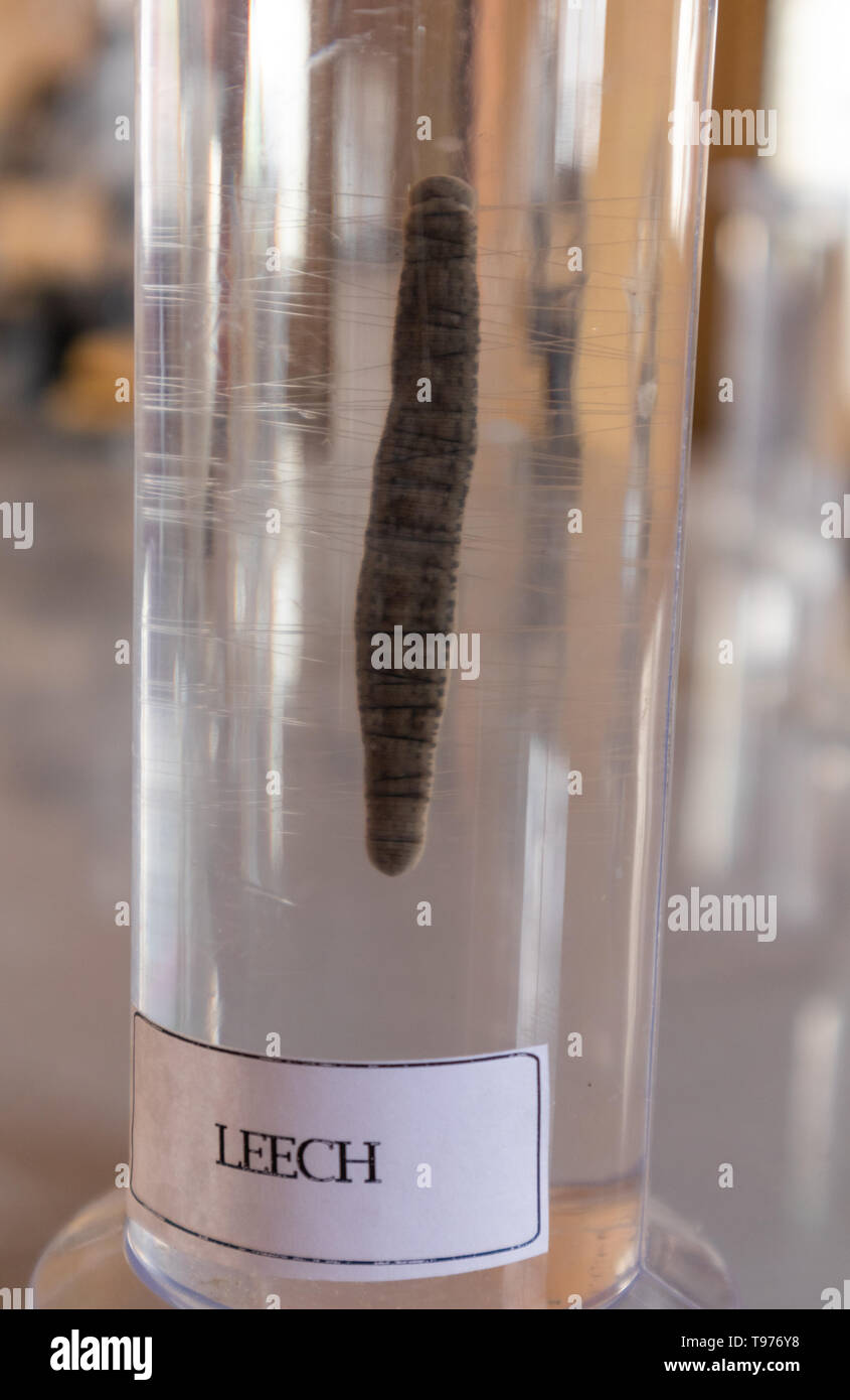 Leech in lab glassware at science laboratory in college - Stock Image
