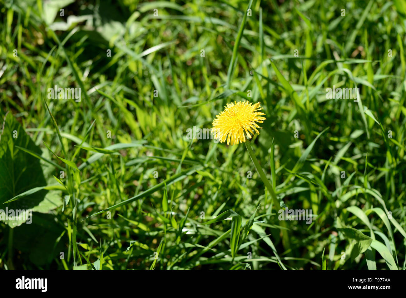 Bright yellow dandelion among the grass on a sunny day - Stock Image