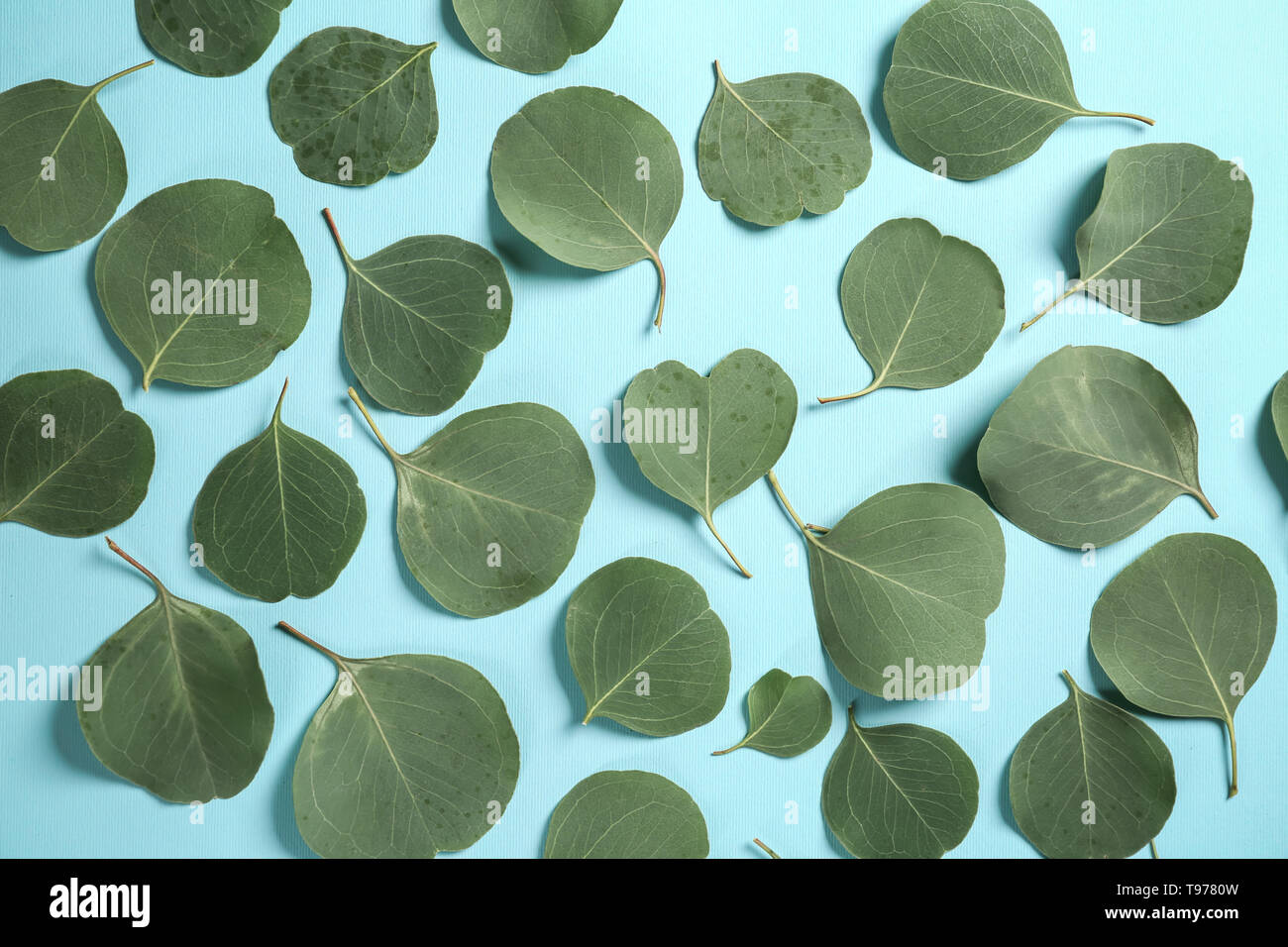 Green eucalyptus leaves on color background - Stock Image