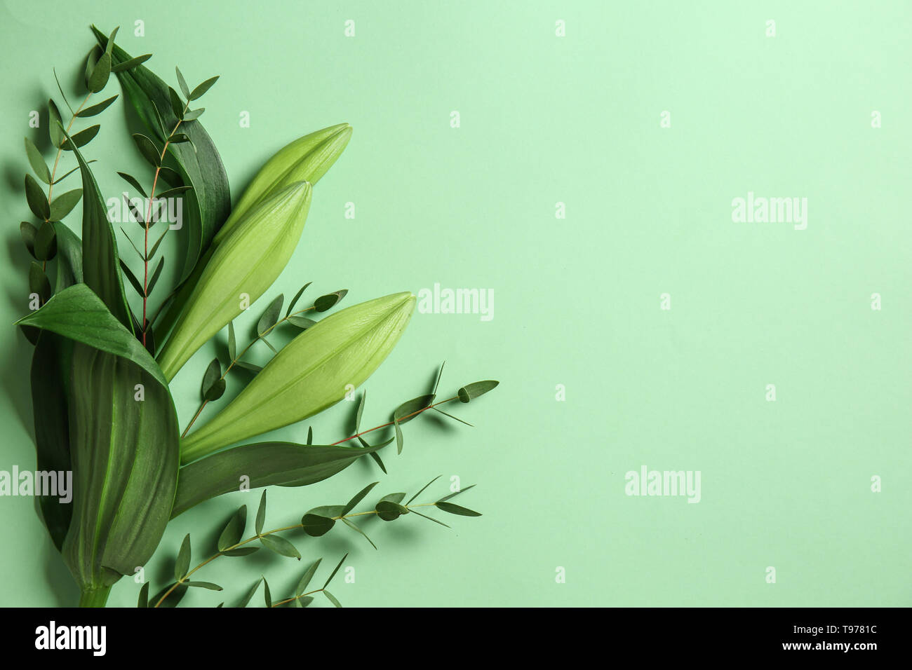 Green eucalyptus branches with flowers on color background - Stock Image