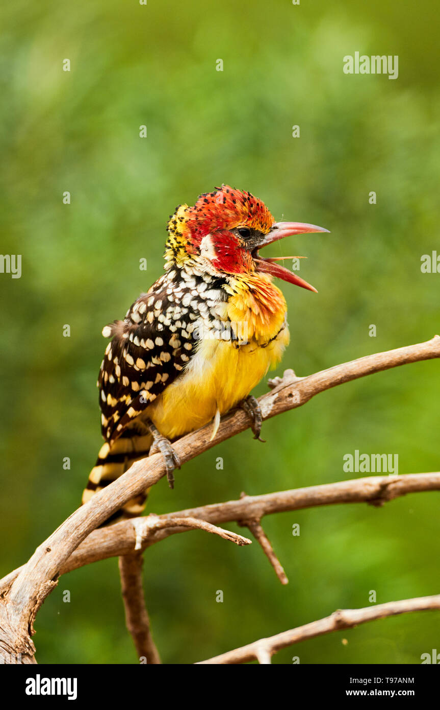 Beautiful red and yellow barbet, a colorful african bird, Trachyphonus erythrocephalus - Stock Image
