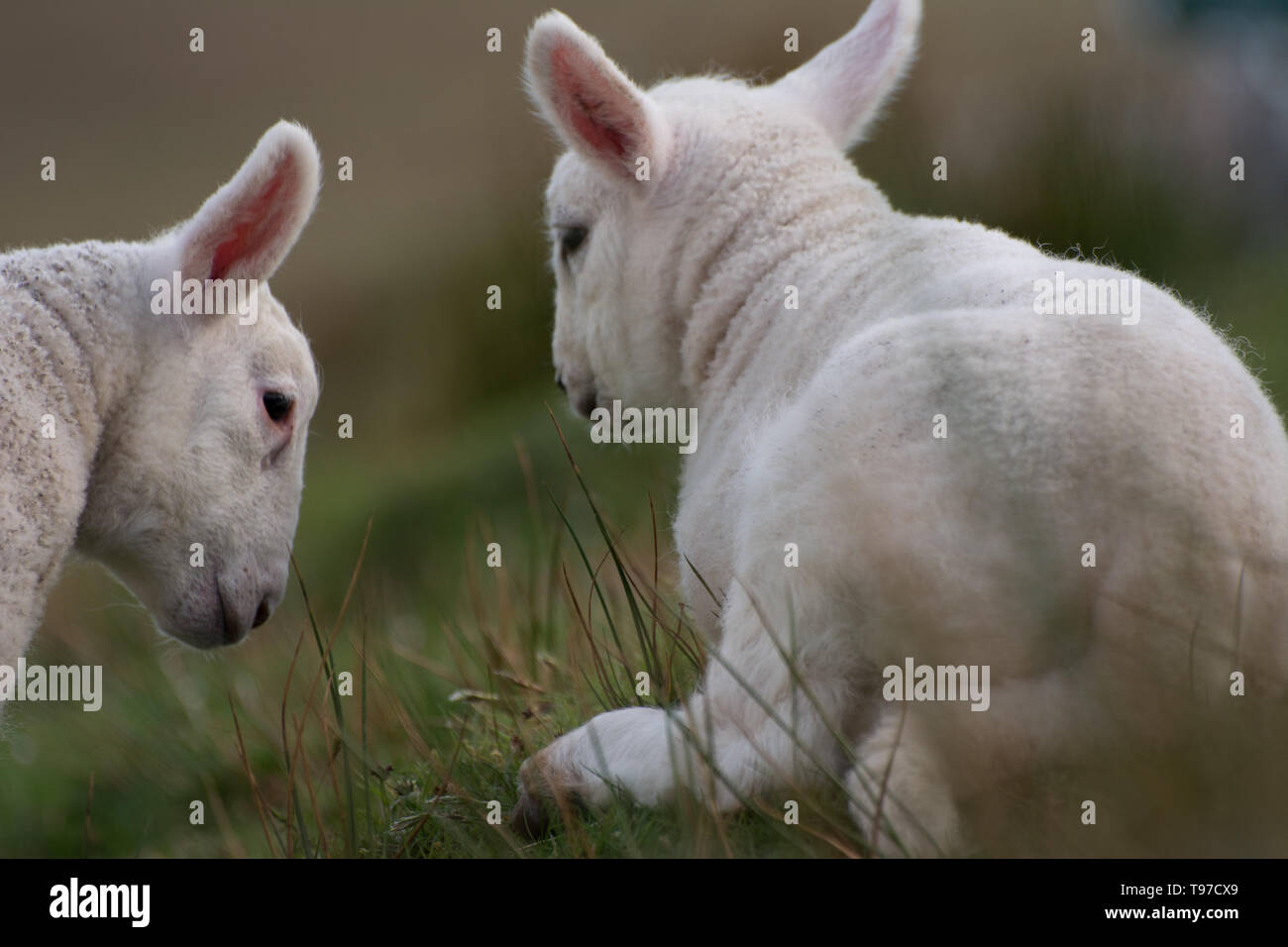 Cute Scottish lambs - Stock Image