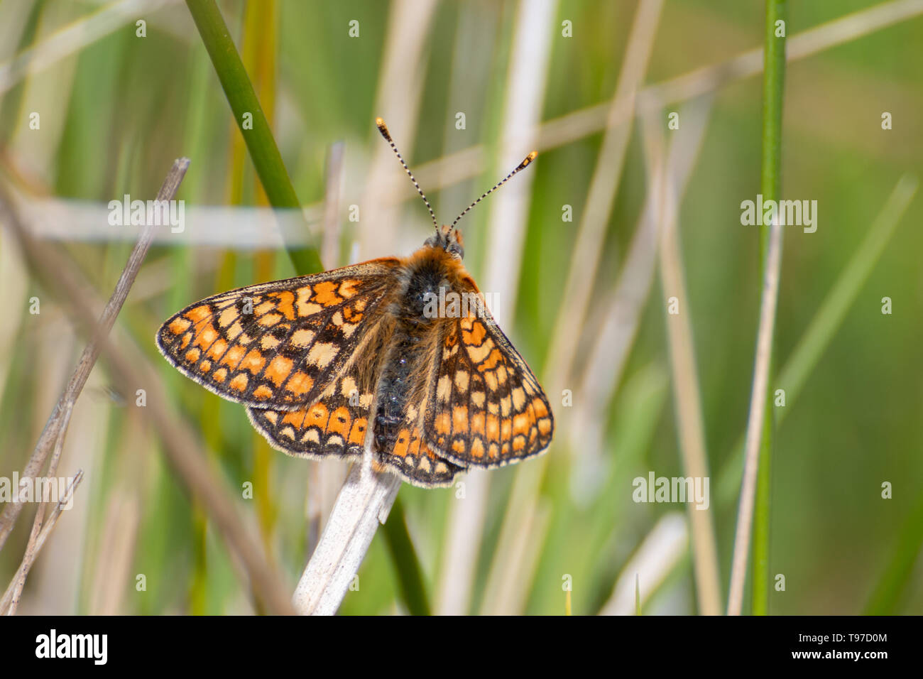 Marsh fritillary butterfly (Euphydryas aurinia) resting on grasses during May, UK - Stock Image