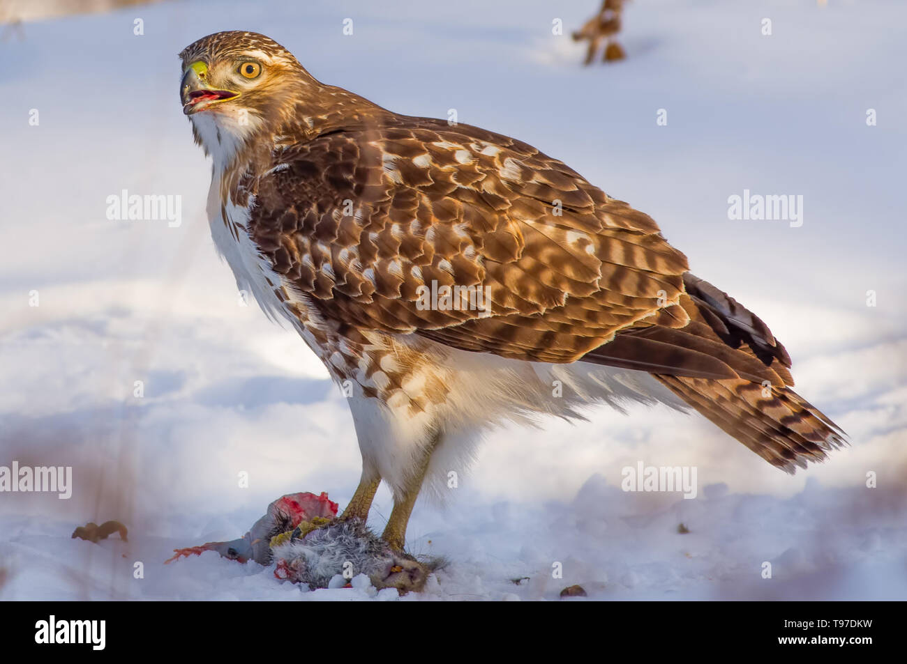 Red Tailed Hawk Eating Stock Photos & Red Tailed Hawk Eating Stock
