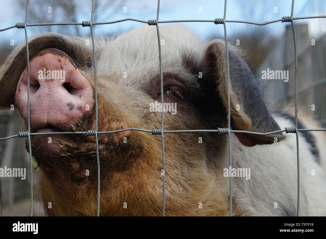 Dirty woolly pig behind a fence. - Stock Image