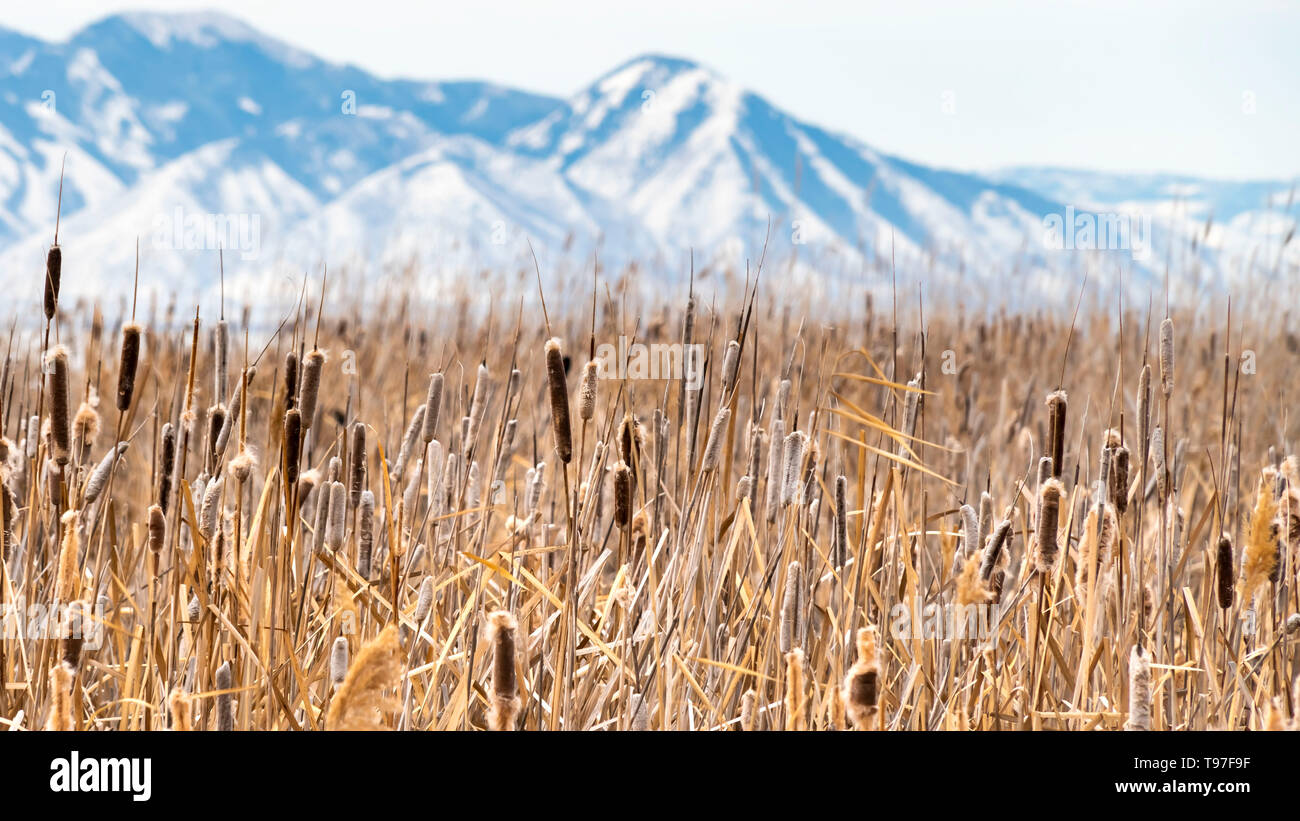 Clear Panorama Tall brown grasses on a vast terrain viewed on a sunny winter day - Stock Image